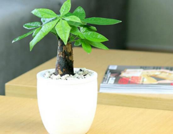 发财树和招财树,顾名思义,两种植物都是可以放在家中并且起到聚财