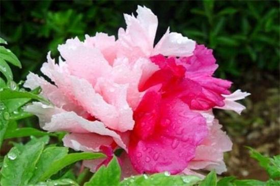 其名字一样,香玉带有浓郁的花香,它是所有牡丹花中香味最重的一个品种