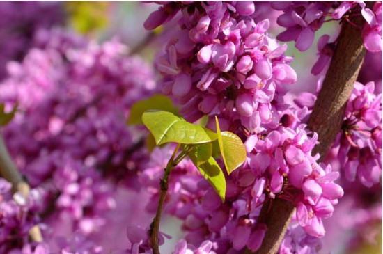 紫荆花是完全花吗
