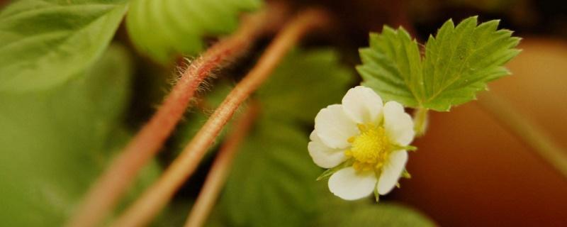 草莓开花期注意什么