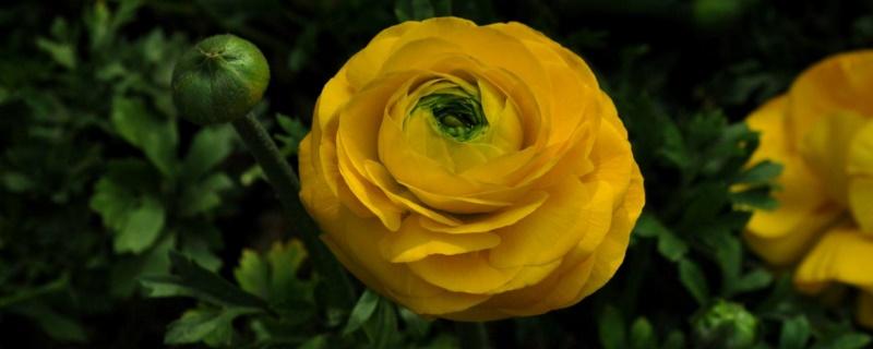 洋牡丹叶子发黄