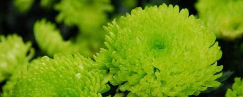 绿菊花的花语和寓意