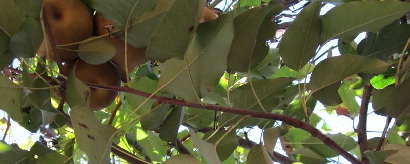 梨树一年打药顺序及用什么药