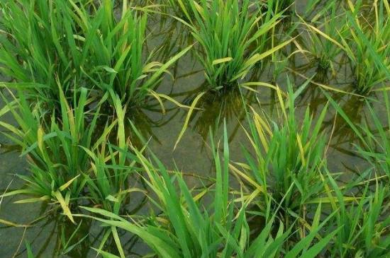 水稻钻心虫用什么