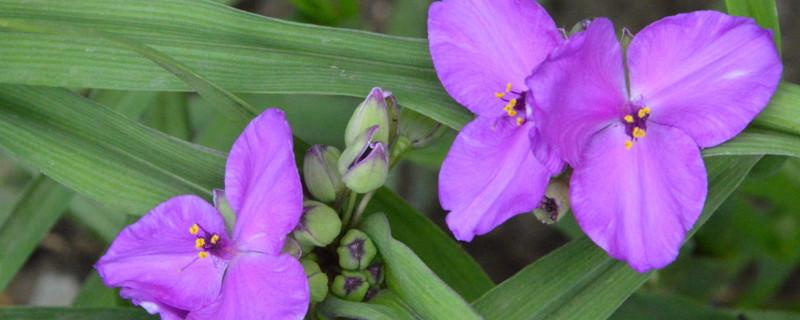 紫露草怎么扦插
