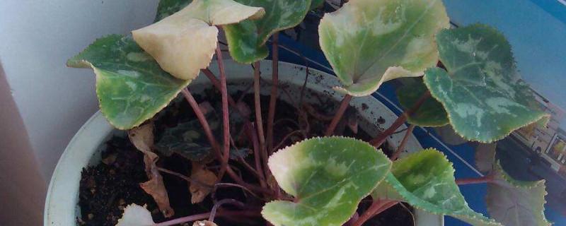秋石斛兰的养殖方法和注意事项