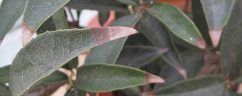 桂花树叶子发黄起锈斑是为什么