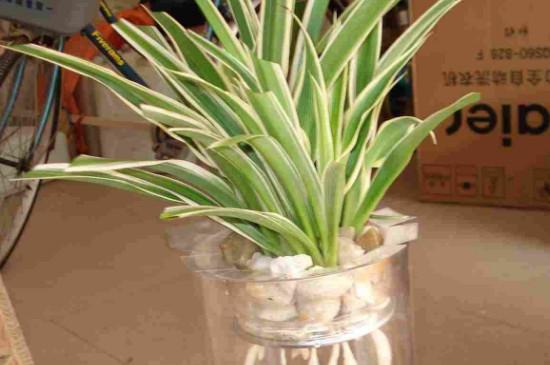 水培吊兰叶子发黄的原因以及解决方法