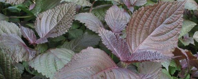 紫苏叶和苏子叶的区别