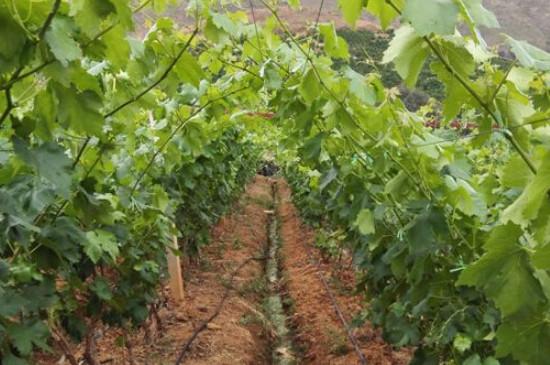 葡萄种子出的苗可以结葡萄吗