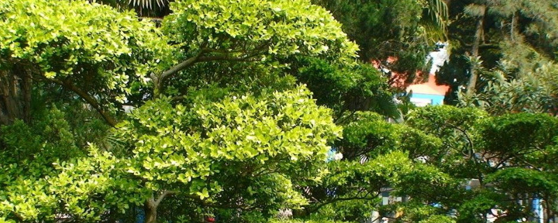 黄杨叶子干枯卷曲是什么原因
