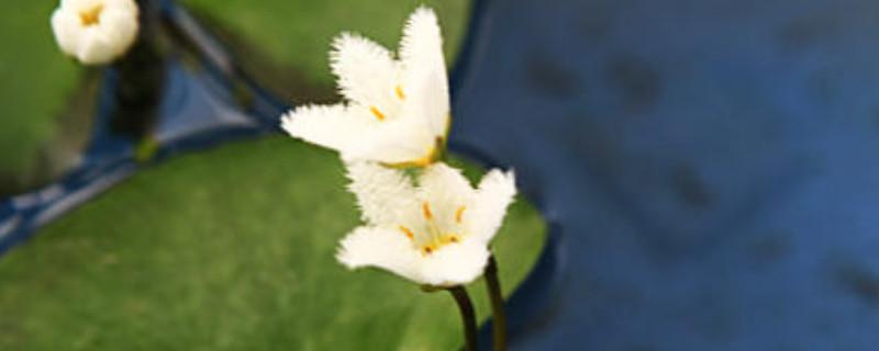 金銀蓮花的養殖不用土可以嗎