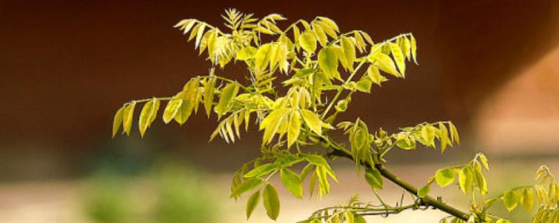 金枝槐叶子为什么成绿的了