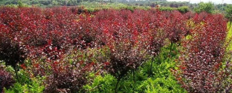 紅葉李如何種植