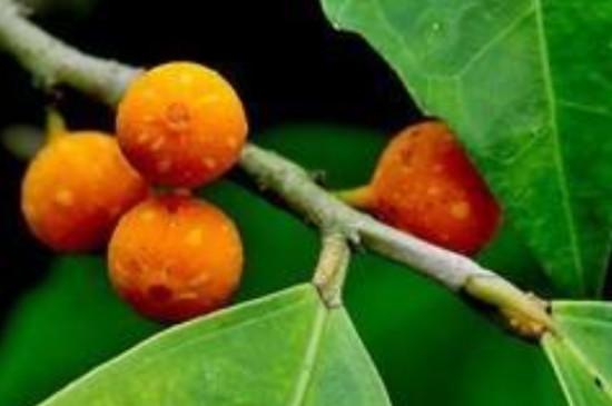 什么树的种子不进入土壤就可以生根发芽
