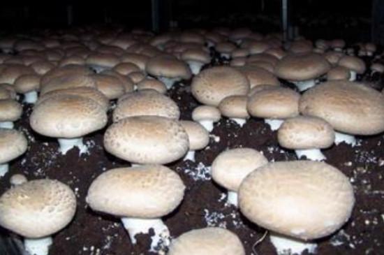 磨菇菇栽培怎样才长的又快又多