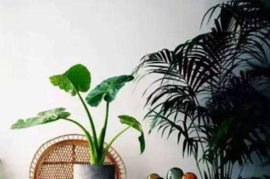 散尾葵为什么不适合放在家里