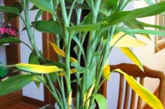 富贵竹叶子发黄怎么救还能变青吗