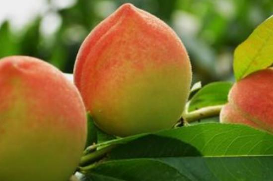 12月份成熟的冬桃有哪些品种
