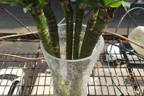龙竹的养殖方法和注意事项