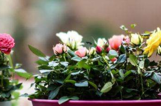 小玫瑰的养殖方法和注意事项