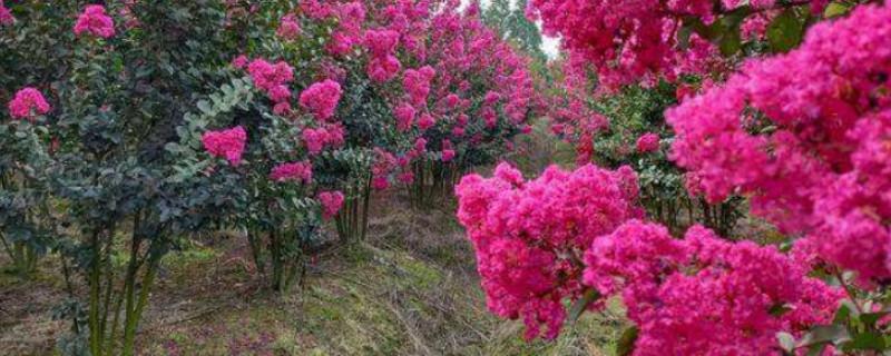 被称为痒痒树是哪种植物