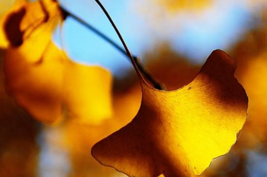 银杏叶的颜色变化过程