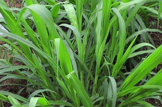 皇竹草种子怎么种在什么时间种