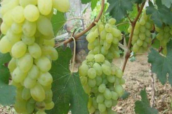 黄金蜜葡萄品种介绍