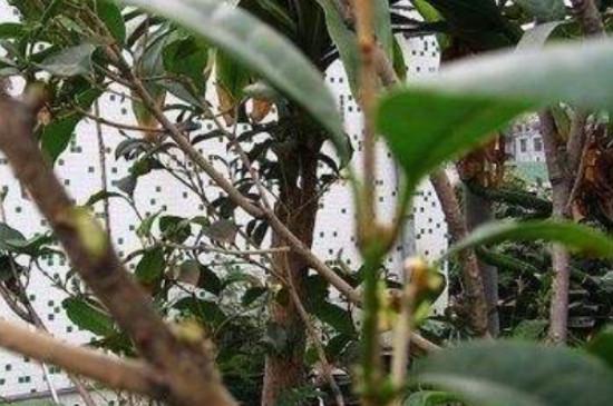 桂花冬天在北方院子里能活吗