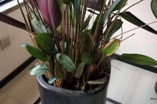 紫背竹芋的养殖方法和注意事项