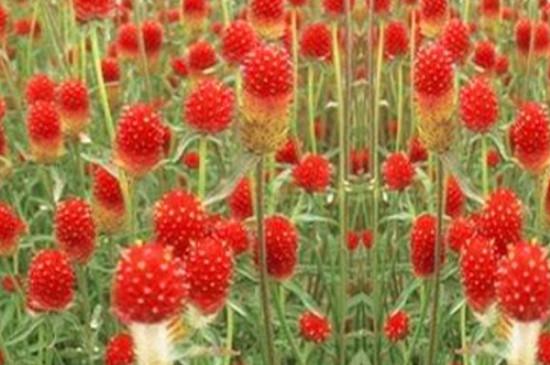 千日红的花语和寓意