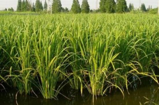 茭白生长环境和种植
