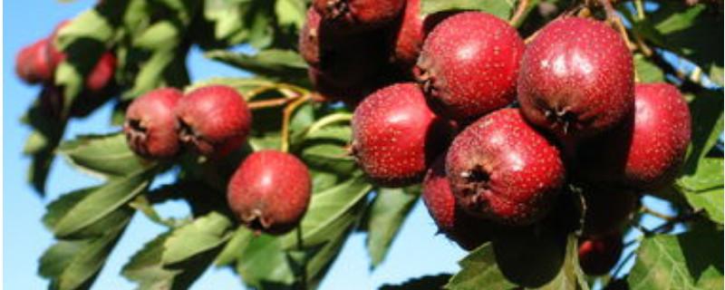 北方果树冬季修剪是什么时间