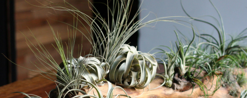 空气凤梨是什么植物