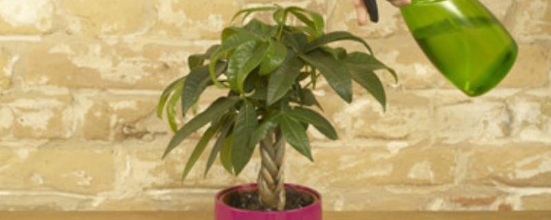 发财树的养殖方法和注意事项浇水