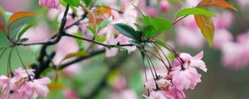 海棠花有几种品种
