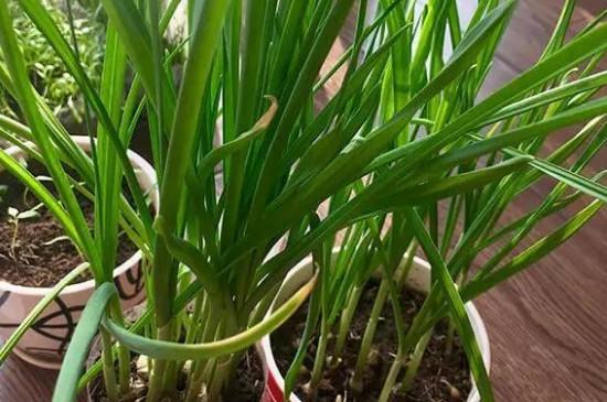 盆栽韭菜的养殖方法