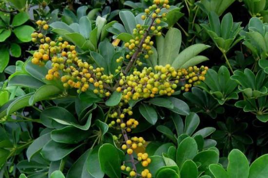 聚财树的养殖方法和注意事项有哪些