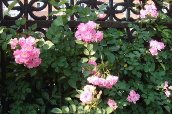 蔷薇花的养殖方法