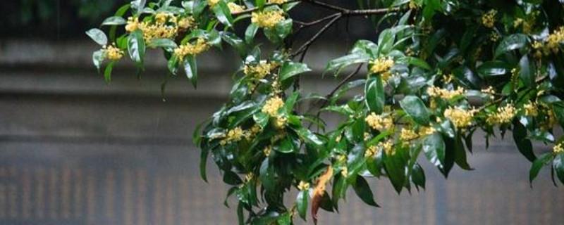 桂花叶子发黄叶子尖上枯萎是怎么回事