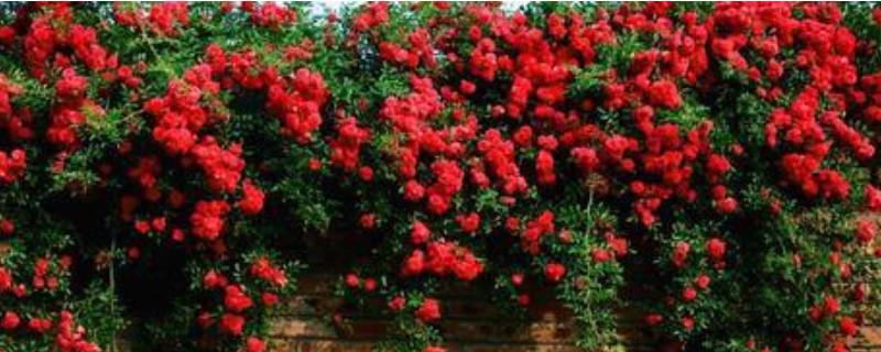 飄香藤冬季的養殖方法和注意事項