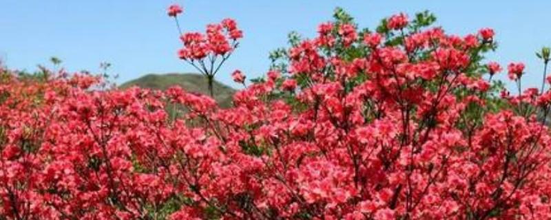 野生映山红花能扦插繁殖吗