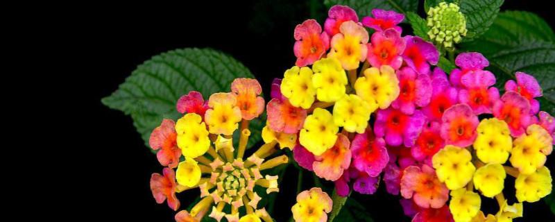 变色龙花卉的养殖方法和注意事项