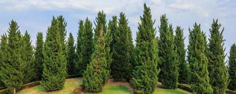 松树枯死的抢救方法是什么