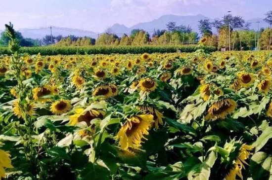 种的向日葵为什么都是空的
