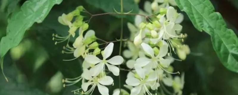 垂枝茉莉要几年能开花