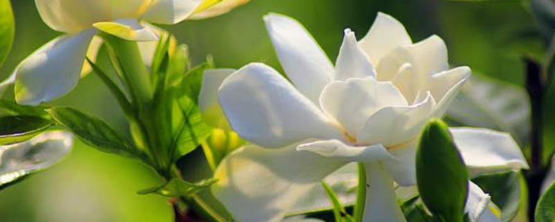 栀子花的移栽方法