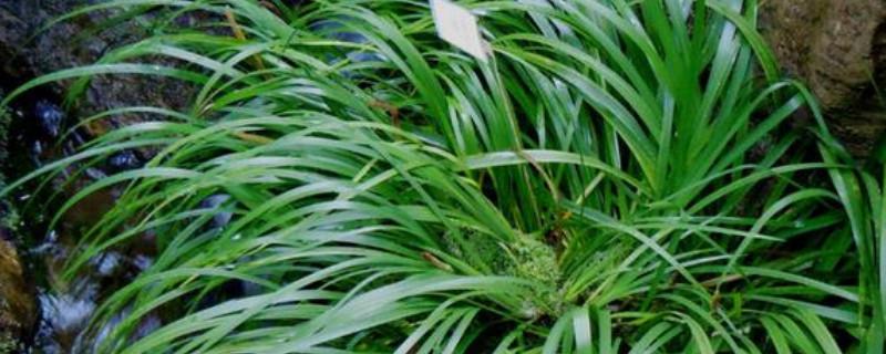 石菖蒲怎么种植